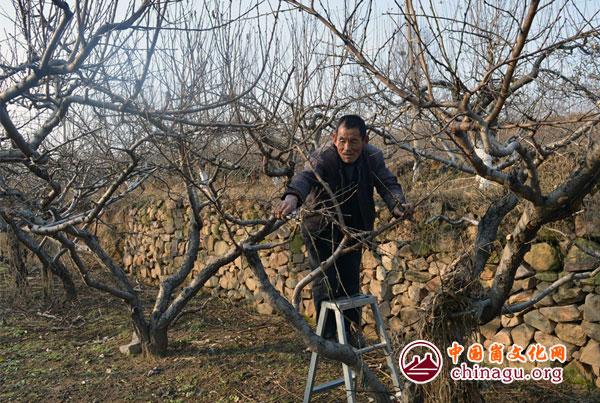桃墟镇果农对桃树进行冬季修剪.